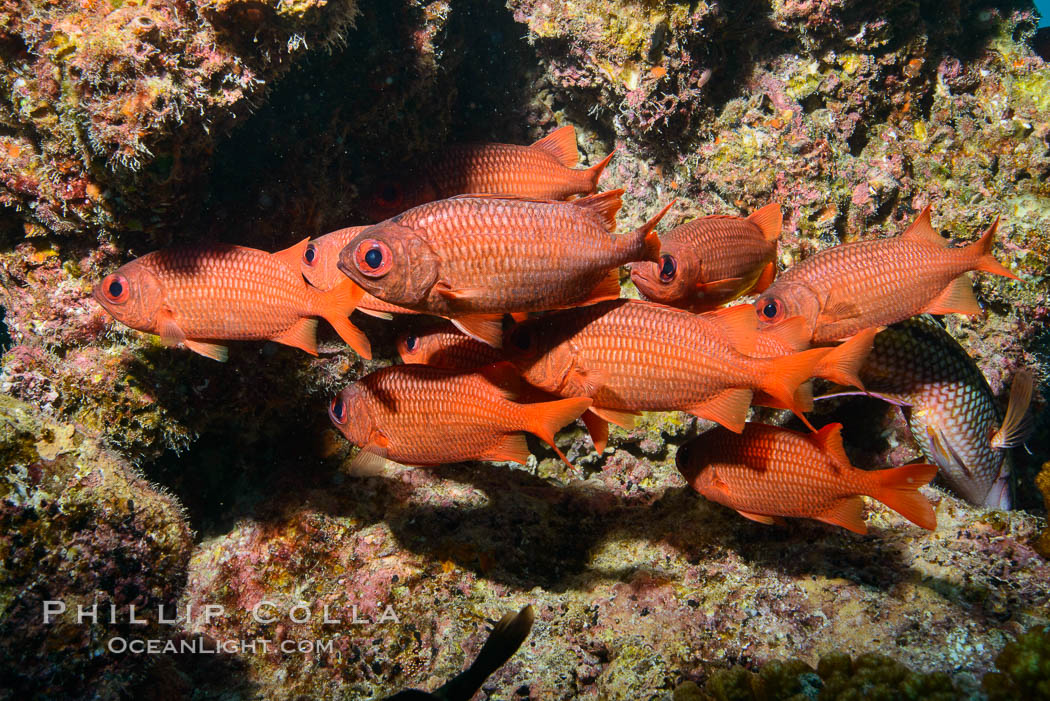 Panamic Soldierfish, Suwanee Reef, Sea of Cortez. Baja California, Mexico, natural history stock photograph, photo id 32480