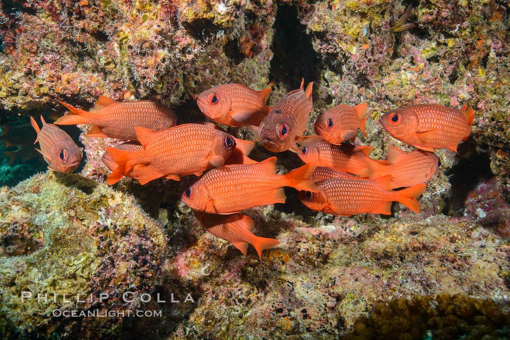 Panamic Soldierfish, Suwanee Reef, Sea of Cortez. Baja California, Mexico, natural history stock photograph, photo id 32479