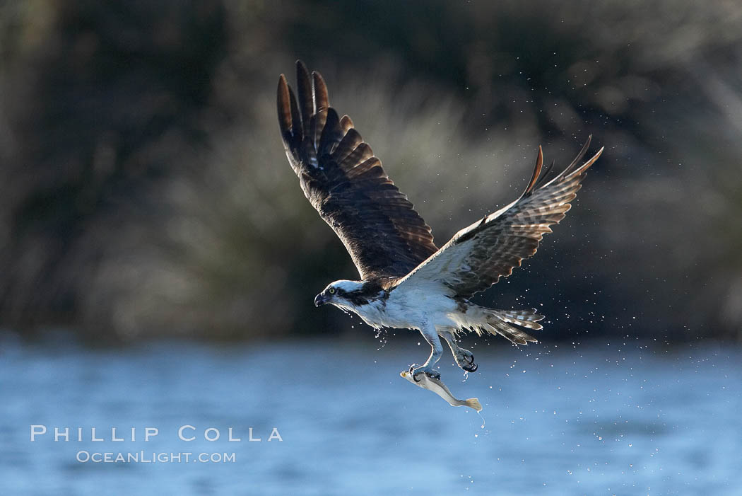 Osprey catches a small fish from a lagoon. Bolsa Chica State Ecological Reserve, Huntington Beach, California, USA, Pandion haliaetus, natural history stock photograph, photo id 19914