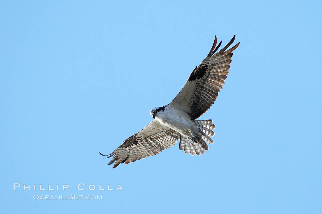 Osprey soaring. Bolsa Chica State Ecological Reserve, Huntington Beach, California, USA, Pandion haliaetus, natural history stock photograph, photo id 19911
