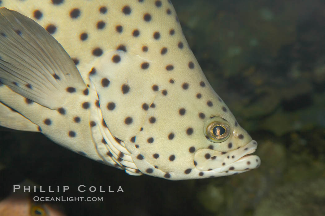 Image 12879, Panther grouper., Chromileptis altiveles, Phillip Colla, all rights reserved worldwide. Keywords: animal, chromileptis altiveles, color and pattern, creature, fish, fish anatomy, grouper, indo-pacific, marine, marine fish, nature, ocean, panther grouper, sea, spot, teleost fish, underwater, wildlife.