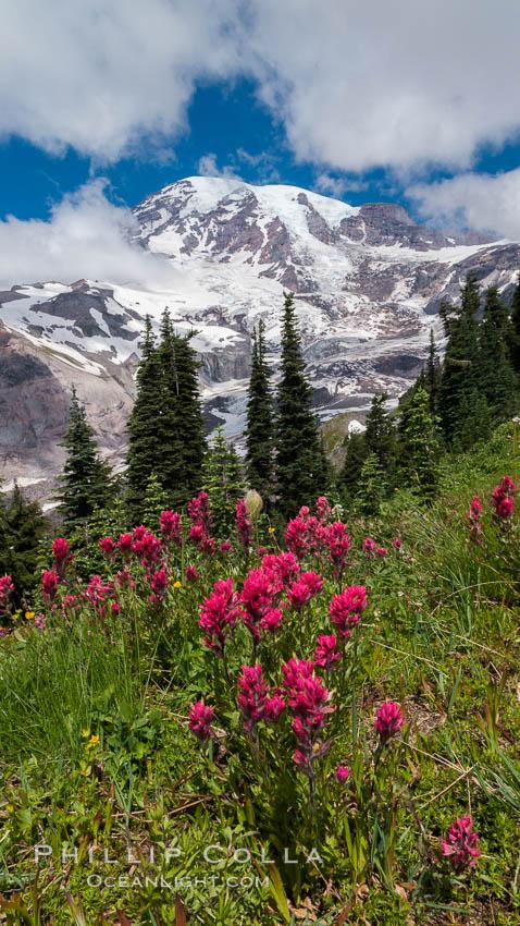 Paradise Meadows, wildflowers and Mount Rainier, summer. Paradise Meadows, Mount Rainier National Park, Washington, USA, natural history stock photograph, photo id 28715