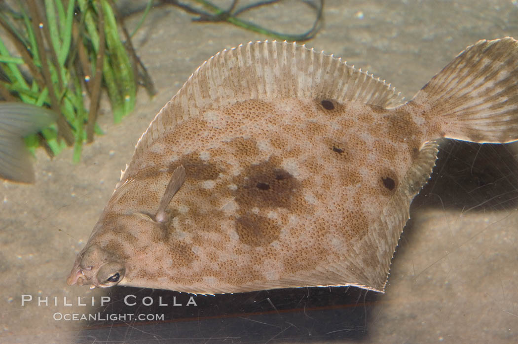 Image 07885, English sole (probable but uncertain identification)., Parophrys vetulus, Phillip Colla, all rights reserved worldwide. Keywords: animal, california baja california, camoflage, camouflage, color and pattern, disruptive coloration, english sole, fish, fish anatomy, fish behavior, indo-pacific, marine fish, parophrys vetulus, pleuronectes vetulus, sole, underwater.