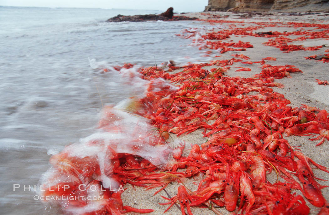 Pelagic red tuna crabs, washed ashore to form dense piles on the beach. Ocean Beach, California, USA, Pleuroncodes planipes, natural history stock photograph, photo id 06084