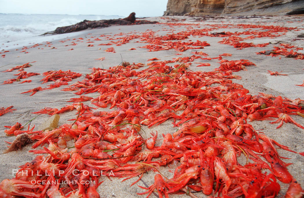Pelagic red tuna crabs, washed ashore to form dense piles on the beach. Ocean Beach, California, USA, Pleuroncodes planipes, natural history stock photograph, photo id 06083