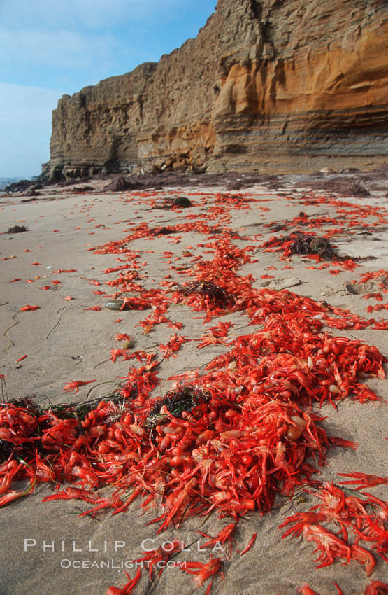 Image 06087, Pelagic red tuna crabs, washed ashore to form dense piles on the beach. Ocean Beach, California, USA, Pleuroncodes planipes, Phillip Colla, all rights reserved worldwide. Keywords: animal, beach, california, coast, crab, crustacean, invertebrate, langostilla, marine invertebrate, ocean, ocean beach, oceans, pacific, pelagic crab, pelagic red crab, pelagic tuna crab, pleuroncodes planipes, red crab, sea, seashore, shore, tuna crab, usa, wildlife.