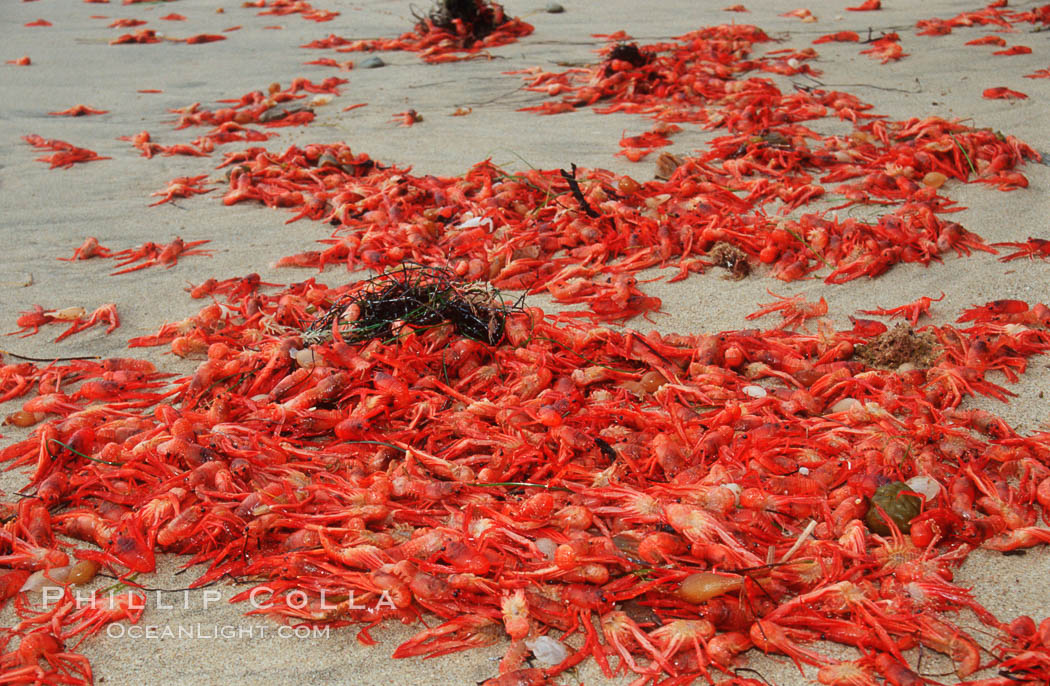 Pelagic red tuna crabs, washed ashore to form dense piles on the beach. Ocean Beach, California, USA, Pleuroncodes planipes, natural history stock photograph, photo id 06073