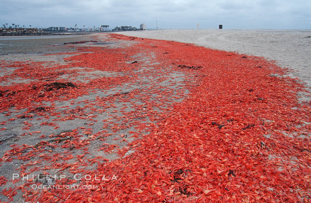 Pelagic red tuna crabs, washed ashore to form dense piles on the beach. Ocean Beach, California, USA, Pleuroncodes planipes, natural history stock photograph, photo id 06081