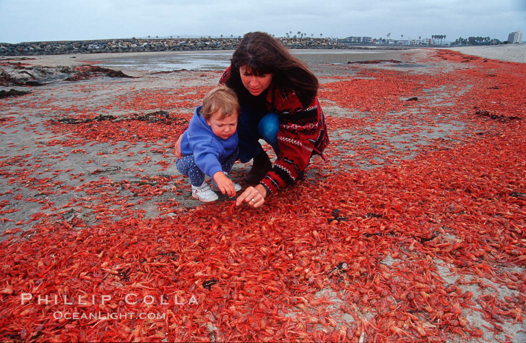 Pelagic red tuna crabs, washed ashore to form dense piles on the beach. Ocean Beach, California, USA, Pleuroncodes planipes, natural history stock photograph, photo id 06068