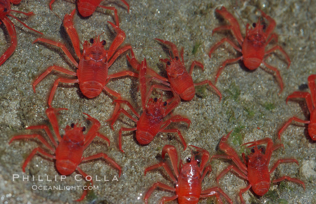 Pelagic red tuna crabs, washed ashore in tidepool. San Diego, California, USA, Pleuroncodes planipes, natural history stock photograph, photo id 06063