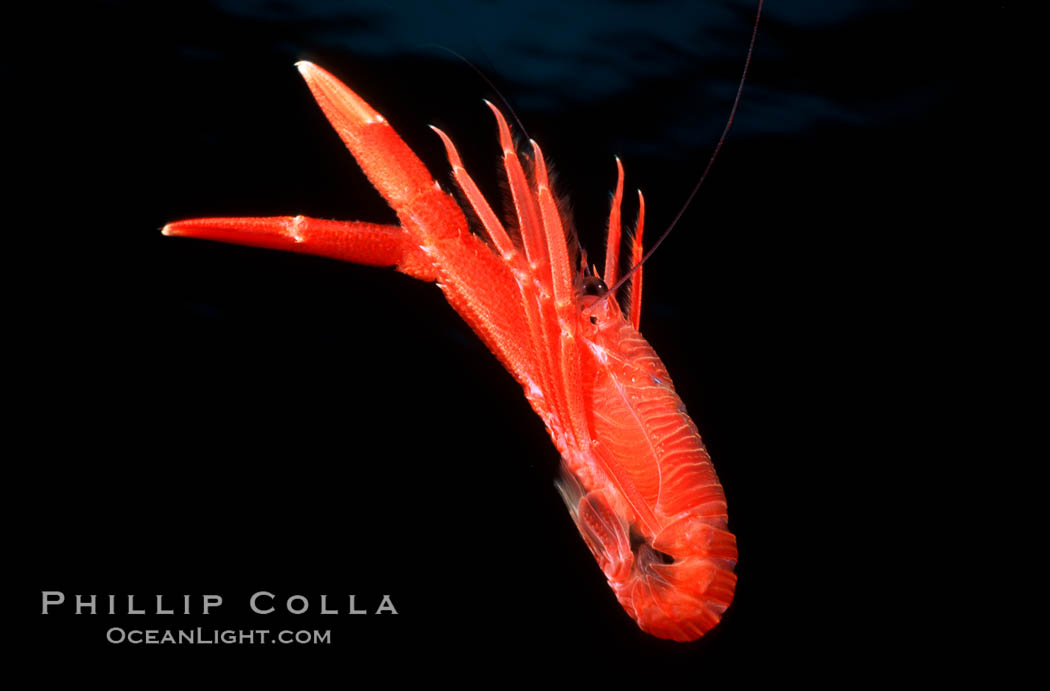 Pelagic red tuna crab, open ocean. San Diego, California, USA, Pleuroncodes planipes, natural history stock photograph, photo id 02248