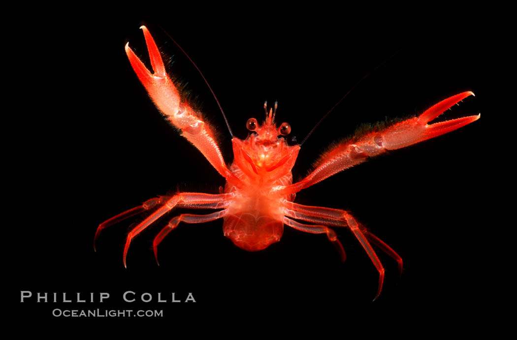 Pelagic red tuna crab, open ocean. San Diego, California, USA, Pleuroncodes planipes, natural history stock photograph, photo id 02247