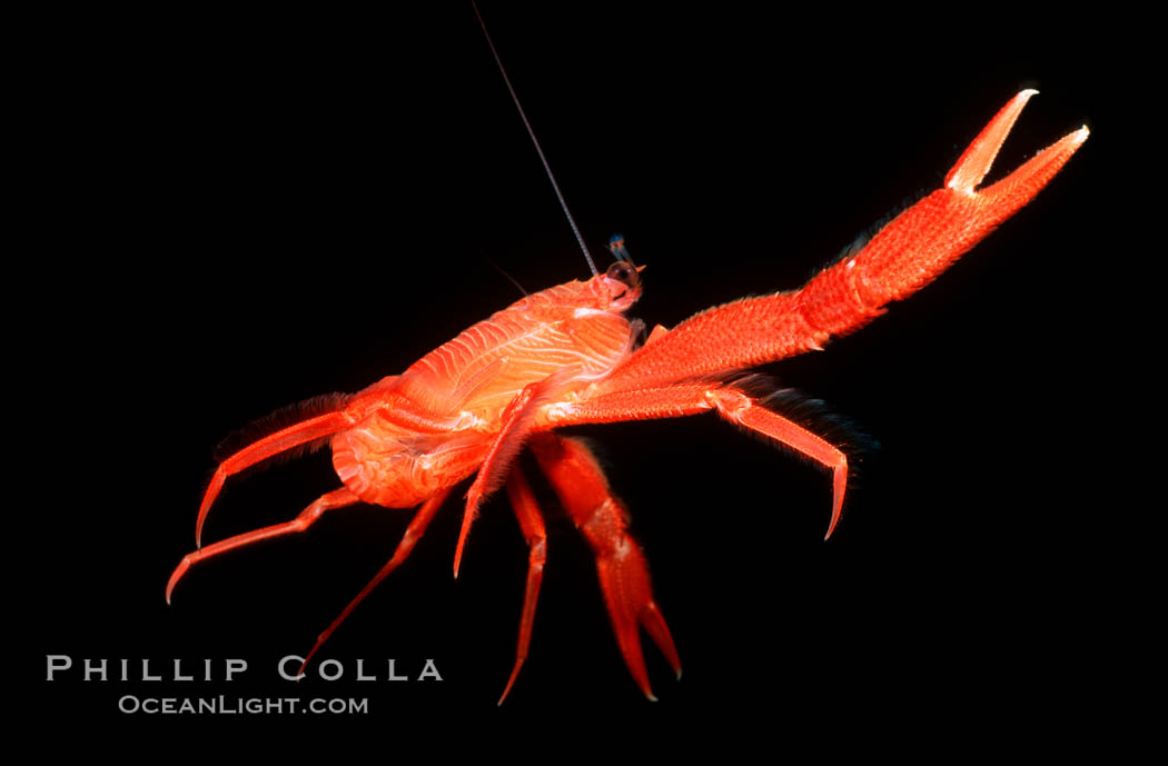 Pelagic red tuna crab, open ocean. San Diego, California, USA, Pleuroncodes planipes, natural history stock photograph, photo id 02249