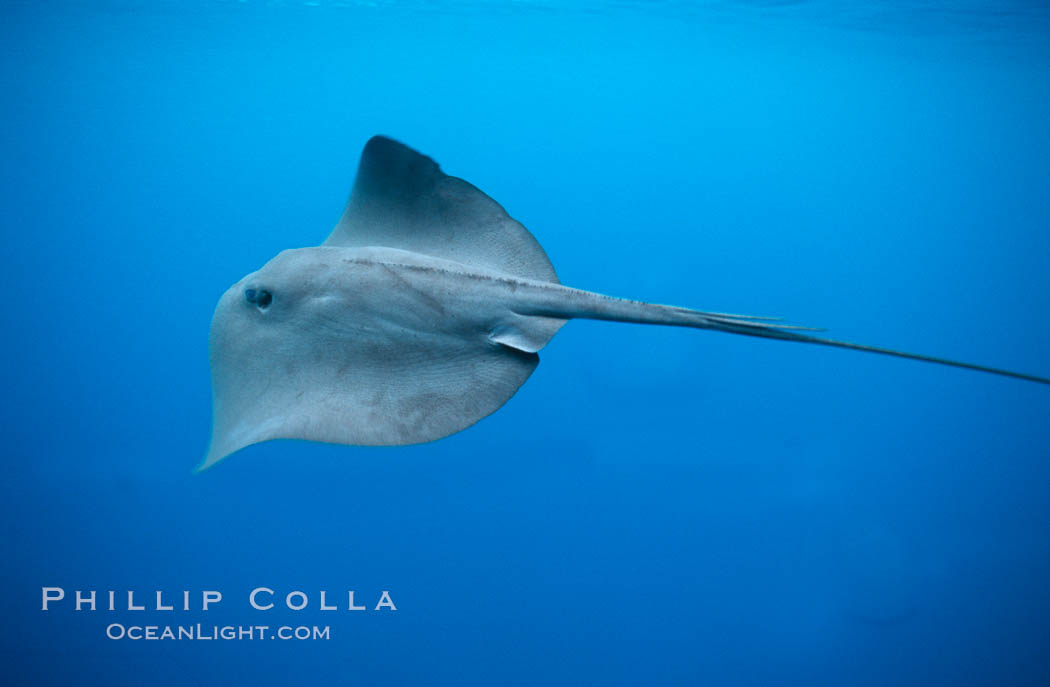 Pelagic stingray, open ocean. San Diego, California, USA, Pteroplatytrygon violacea, natural history stock photograph, photo id 04997