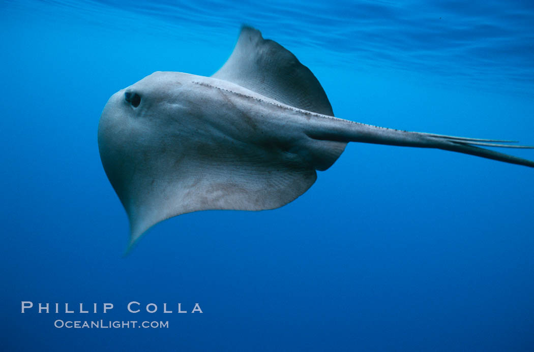 Pelagic stingray, open ocean. San Diego, California, USA, Pteroplatytrygon violacea, natural history stock photograph, photo id 05001