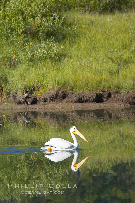 White pelican on the Snake River. Grand Teton National Park, Wyoming, USA, Pelecanus erythrorhynchos, natural history stock photograph, photo id 13054