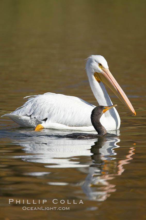 White pelican. Santee Lakes, Santee, California, USA, Pelecanus erythrorhynchos, natural history stock photograph, photo id 20110