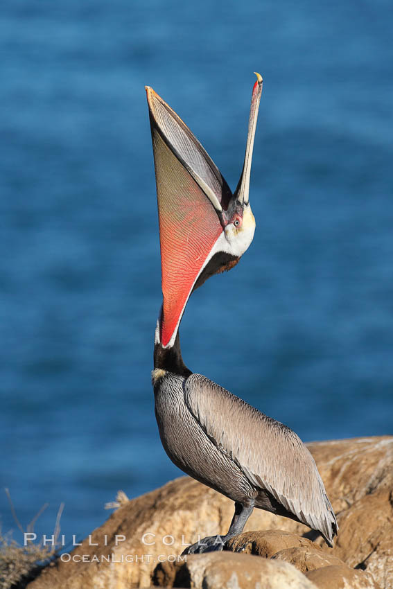 California brown pelican, head throw to stretch out its throat, winter mating plumage. La Jolla, USA, Pelecanus occidentalis, Pelecanus occidentalis californicus, natural history stock photograph, photo id 18551