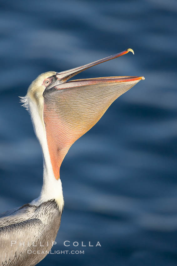 Brown pelican peforming a head throw, in which it raises its long beak toward the sky and stretches its long neck. La Jolla, California, USA, Pelecanus occidentalis, Pelecanus occidentalis californicus, natural history stock photograph, photo id 19942