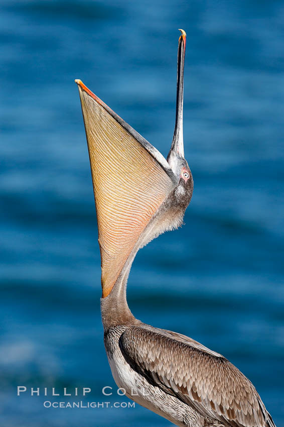 Brown pelican head throw.  During a bill throw, the pelican arches its neck back, lifting its large bill upward and stretching its throat pouch. La Jolla, California, USA, Pelecanus occidentalis, Pelecanus occidentalis californicus, natural history stock photograph, photo id 15133