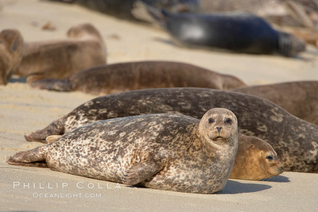 A Pacific harbor seal hauled out on a sandy beach.  This group of harbor seals, which has formed a breeding colony at a small but popular beach near San Diego, is at the center of considerable controversy.  While harbor seals are protected from harassment by the Marine Mammal Protection Act and other legislation, local interests would like to see the seals leave so that people can resume using the beach. La Jolla, California, USA, Phoca vitulina richardsi, natural history stock photograph, photo id 15046