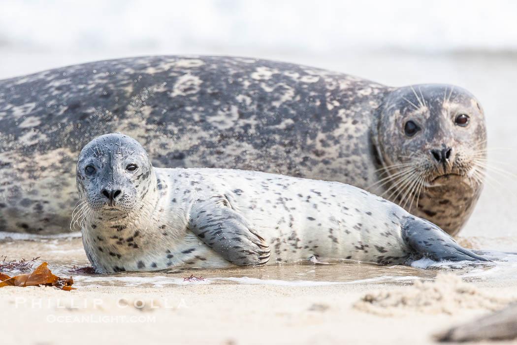 Pacific harbor seal, mother and pup. La Jolla, California, USA, Phoca vitulina richardsi, natural history stock photograph, photo id 15753