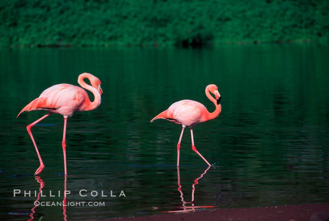 Greater flamingo. Floreana Island, Galapagos Islands, Ecuador, Phoenicopterus ruber, natural history stock photograph, photo id 02280