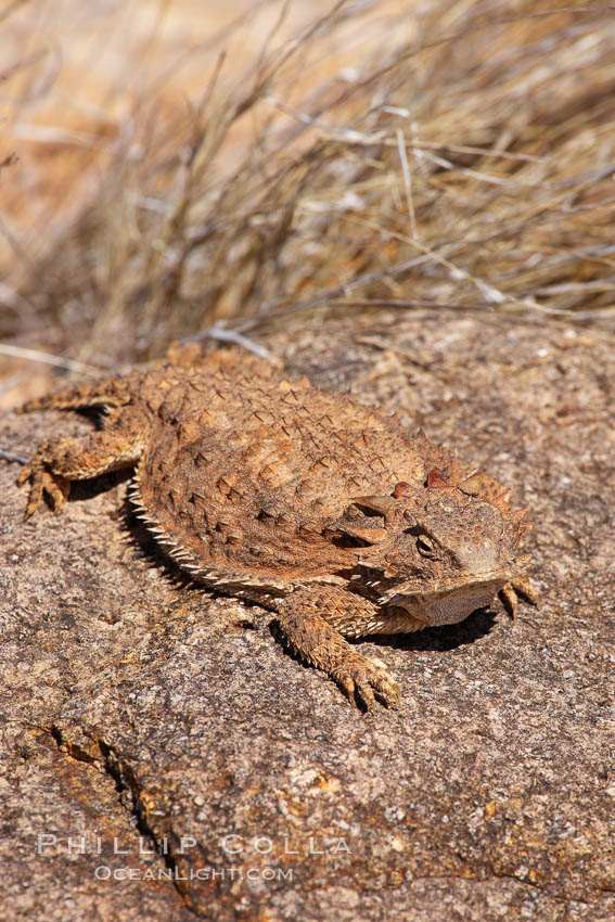Horned lizard.  When threatened, the horned lizard can squirt blood from its eye at an attacker up to 5 feet away. Amado, Arizona, USA, Phrynosoma, natural history stock photograph, photo id 23051