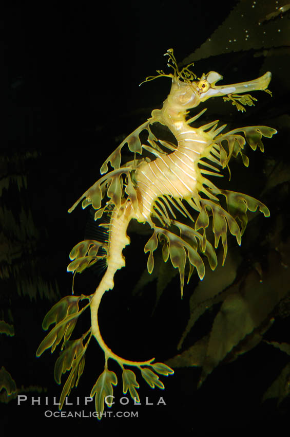 Leafy Seadragon., Phycodurus eques, natural history stock photograph, photo id 07814