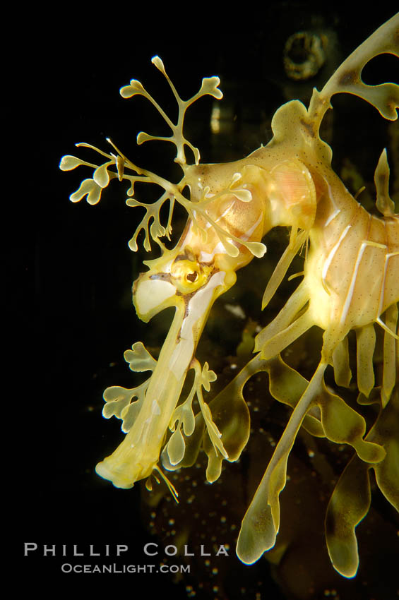 Leafy Seadragon., Phycodurus eques, natural history stock photograph, photo id 09421