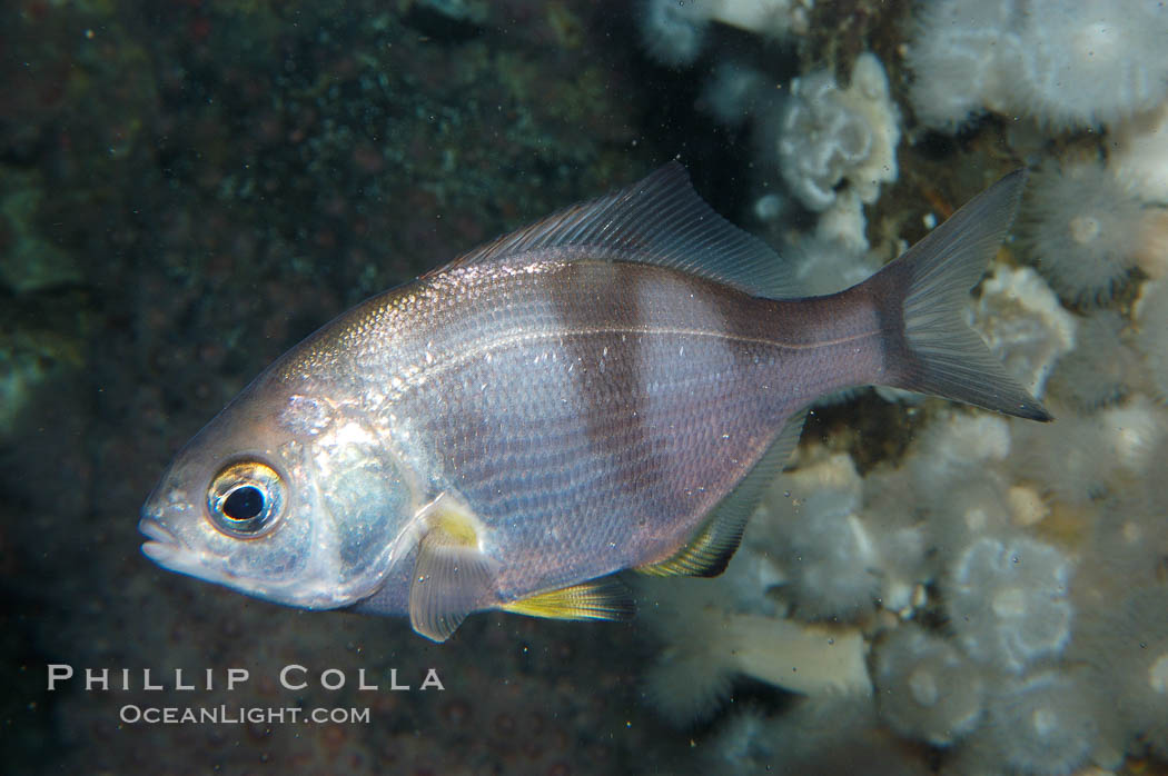 Pile surfperch., Rhacochilus vacca, natural history stock photograph, photo id 09036