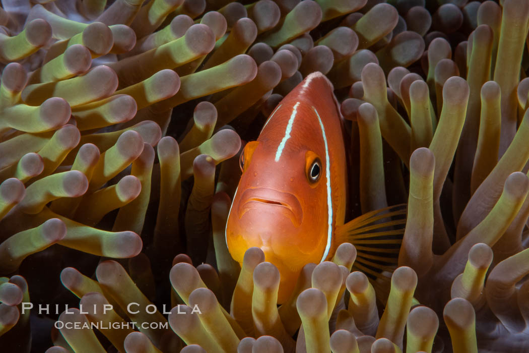 Pink Skunk Anemone Fish, Amphiprion perideraion, Fiji., Amphiprion perideraion, natural history stock photograph, photo id 34774