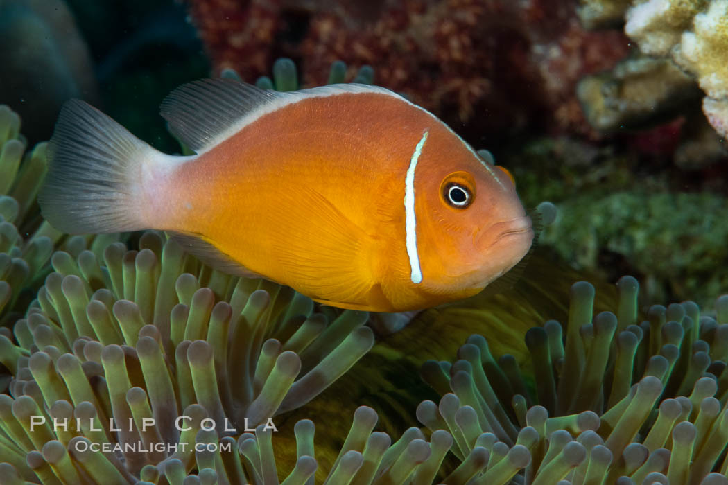 Pink Skunk Anemone Fish, Amphiprion perideraion, Fiji. Fiji, Amphiprion perideraion, natural history stock photograph, photo id 34864