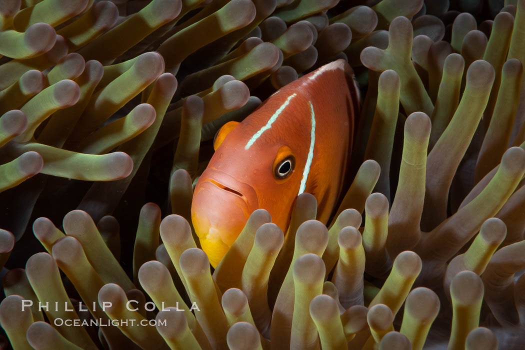 Pink Skunk Anemone Fish, Amphiprion perideraion, Fiji., Amphiprion perideraion, natural history stock photograph, photo id 34861