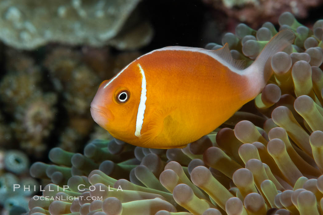 Pink Skunk Anemone Fish, Amphiprion perideraion, Fiji., Amphiprion perideraion, natural history stock photograph, photo id 34885