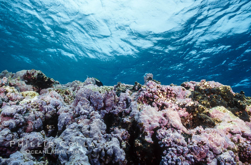 Pink Porolithon Coralline Algae, Rose Atoll. Rose Atoll National Wildlife Sanctuary, American Samoa, USA, natural history stock photograph, photo id 00762