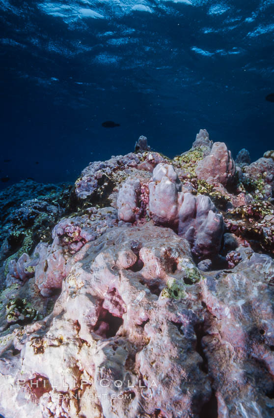 Pink Porolithon Coralline Algae, Rose Atoll. Rose Atoll National Wildlife Sanctuary, American Samoa, USA, natural history stock photograph, photo id 00763