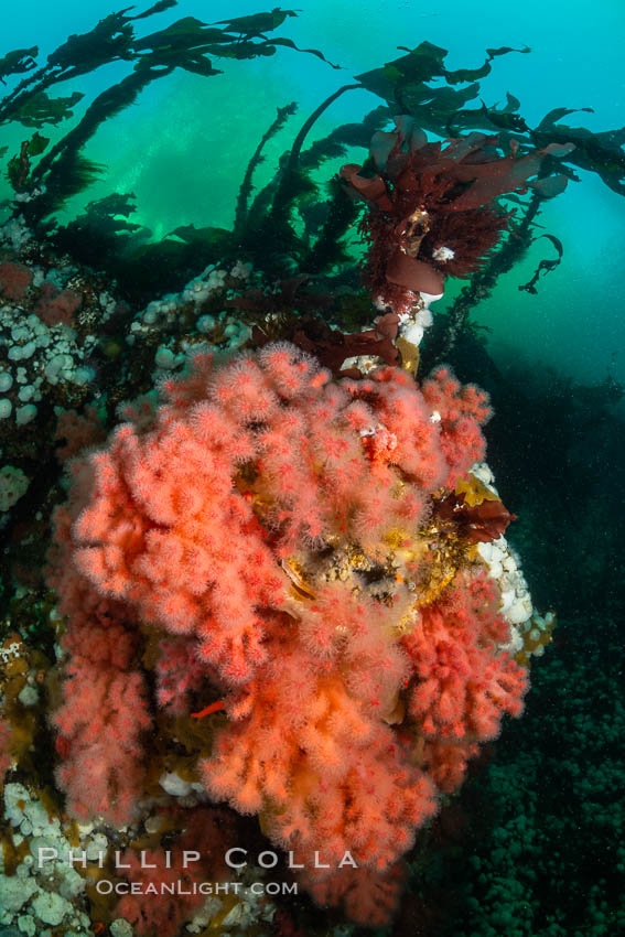Pink Soft Coral, Gersemia Rubiformis, Browning Pass, Vancouver Island, Gersemia rubiformis