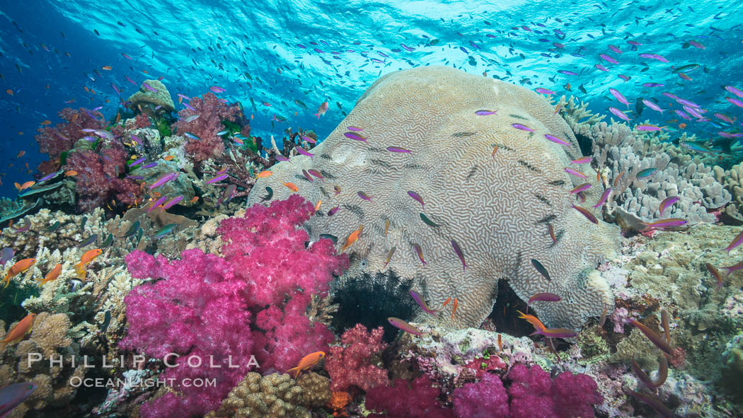 Pink Soft Corals and Pristine Hard Corals on South Pacific Reef, Fiji. Large coral head is Platygyra lamellina. Namena Marine Reserve, Namena Island, Dendronephthya, natural history stock photograph, photo id 31416