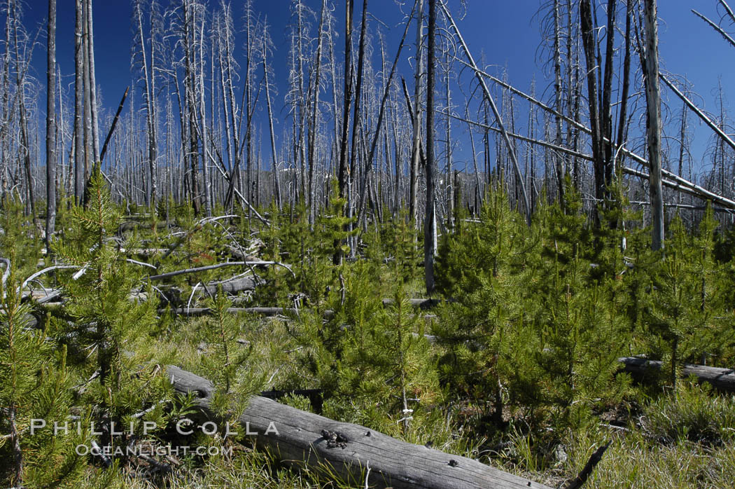 Image 07292, Yellowstones historic 1988 fires destroyed vast expanses of forest. Here scorched, dead stands of lodgepole pine stand testament to these fires, and to the renewal of these forests. Seedling and small lodgepole pines can be seen emerging between the dead trees, growing quickly on the nutrients left behind the fires. Southern Yellowstone National Park. Wyoming, USA, Pinus contortus, Phillip Colla, all rights reserved worldwide. Keywords: environment, landscape, lodgepole pine tree, national parks, nature, outdoors, outside, phenomena, pine tree, pinus contortus, plant, scene, scenery, scenic, terrestrial plant, tree, usa, wildfire, world heritage sites, wyoming, yellowstone, yellowstone national park, yellowstone park.