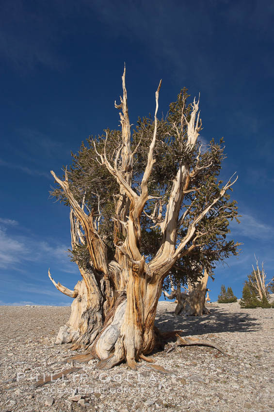 Bristlecone pine rising above the arid, dolomite-rich slopes of the White Mountains at 11000-foot elevation. Patriarch Grove, Ancient Bristlecone Pine Forest. White Mountains, Inyo National Forest, California, USA, Pinus longaeva, natural history stock photograph, photo id 17490