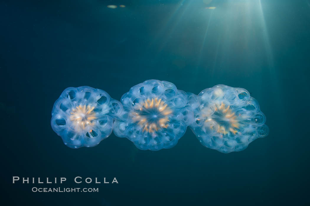 Colonial planktonic pelagic tunicate, adrift in the open ocean, forms rings and chains as it drifts with ocean currents. San Diego, California, USA, Cyclosalpa affinis, natural history stock photograph, photo id 26823