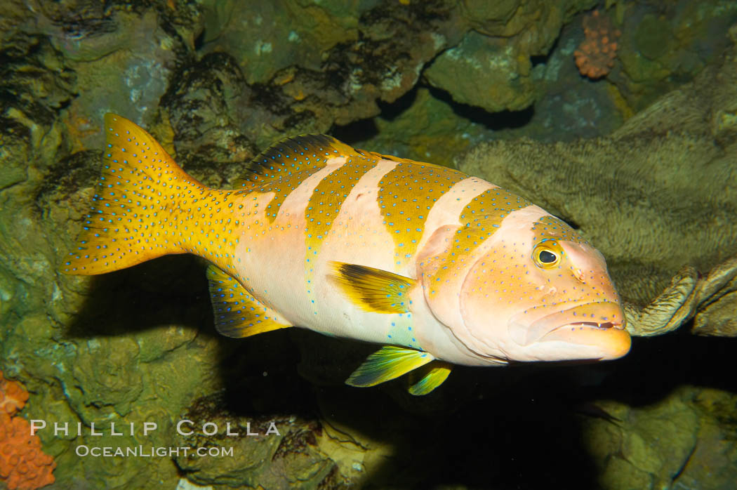Black saddle grouper., Plectropomus laevis, natural history stock photograph, photo id 12936