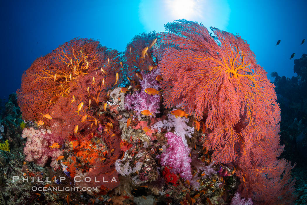 Plexauridae sea fan or gorgonian on coral reef. This gorgonian is a type of colonial alcyonacea soft coral that filters plankton from passing ocean currents, Gorgonacea, Vatu I Ra Passage, Bligh Waters, Viti Levu Island, Fiji