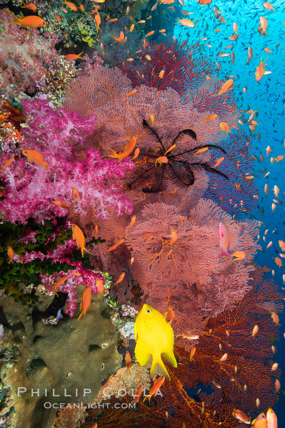 Beautiful South Pacific coral reef, with Plexauridae sea fans, schooling anthias fish and colorful dendronephthya soft corals, Fiji., Dendronephthya, Gorgonacea, Pseudanthias, natural history stock photograph, photo id 34807