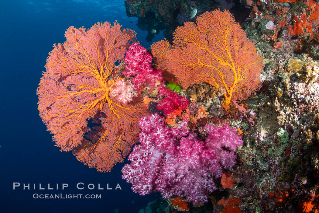 Beautiful South Pacific coral reef, with Plexauridae sea fans, schooling anthias fish and colorful dendronephthya soft corals, Fiji. Vatu I Ra Passage, Bligh Waters, Viti Levu Island, Dendronephthya, Gorgonacea, Pseudanthias, natural history stock photograph, photo id 34975