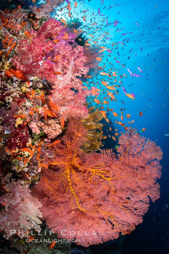 Beautiful South Pacific coral reef, with Plexauridae sea fans, schooling anthias fish and colorful dendronephthya soft corals, Fiji. Vatu I Ra Passage, Bligh Waters, Viti Levu Island, Dendronephthya, Gorgonacea, Pseudanthias, natural history stock photograph, photo id 34979