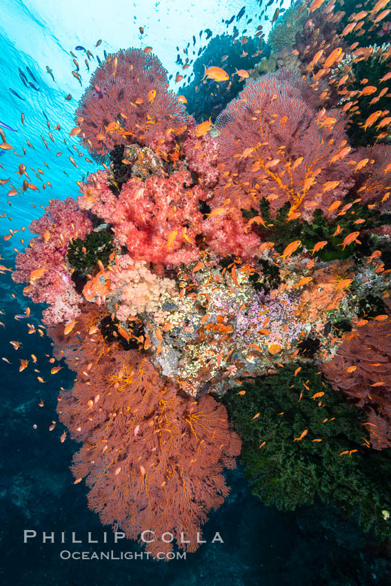 Beautiful South Pacific coral reef, with Plexauridae sea fans, schooling anthias fish and colorful dendronephthya soft corals, Fiji. Fiji, Dendronephthya, Gorgonacea, Pseudanthias, natural history stock photograph, photo id 34765