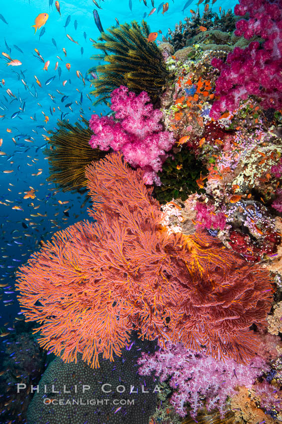Beautiful South Pacific coral reef, with Plexauridae sea fans, schooling anthias fish and colorful dendronephthya soft corals, Fiji. Fiji, Dendronephthya, Gorgonacea, Pseudanthias, natural history stock photograph, photo id 34769