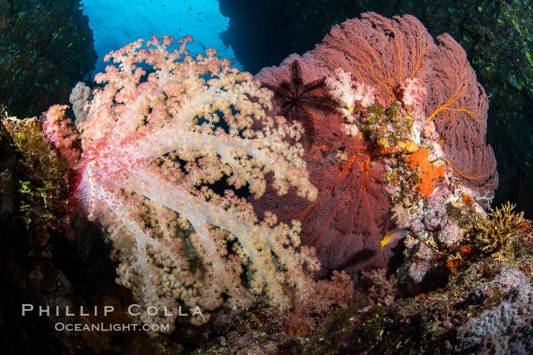 Beautiful South Pacific coral reef, with Plexauridae sea fans, schooling anthias fish and colorful dendronephthya soft corals, Fiji. Vatu I Ra Passage, Bligh Waters, Viti Levu Island, Fiji, Dendronephthya, Gorgonacea, Pseudanthias, natural history stock photograph, photo id 34969